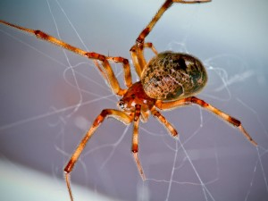 house spider 300x225 Top 3 House Spider Myths