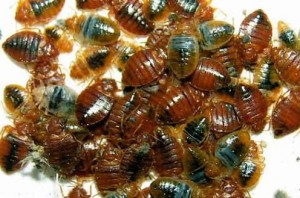 Bed Bug Infestation That Could Exude a Pungent-Sweet Smell
