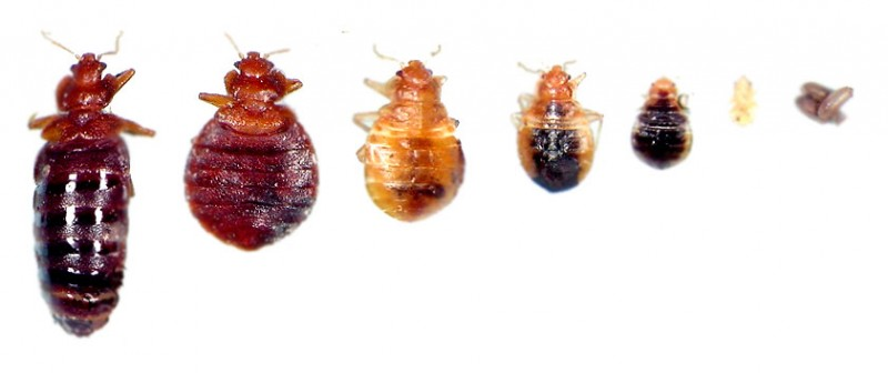 bed-bugs-life-stages