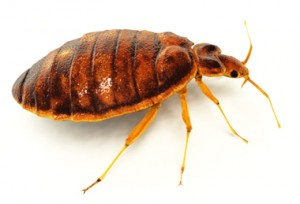 bed bug 300x204 See Pictures of Bed Bugs, They Could Already Be Sleeping Next To You