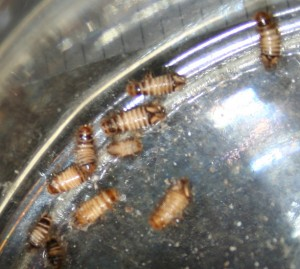 carpet beetles 300x269 See Pictures of Bed Bugs, They Could Already Be Sleeping Next To You