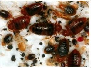 bed-bug-infestation