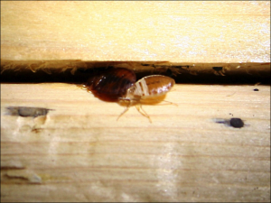 bed-bugs-in-cracks