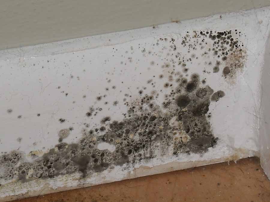 Basic Black Mold Facts
