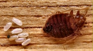 bed-bug-eggs