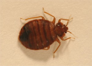 Provided This photo show an adult bedbug.