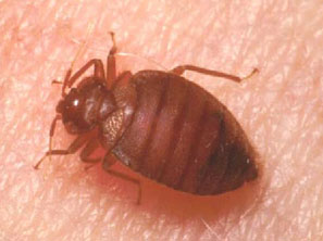 More Bed Bugs Pester California Mycleaningproducts Com
