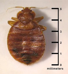 bed-bug-actual-size