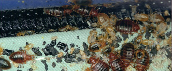 bed-bug-feces-and-shells