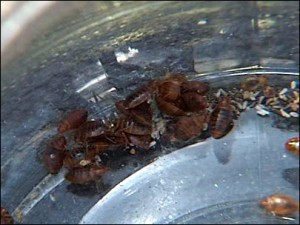 bed bug infestation 3 300x225 Bed Bugs – Could You Really Beat Them With Kidney Bean Leaves?