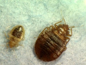 bed-bugs-2