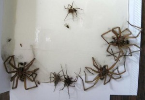 spider infestation 300x206 How to Kill Spiders – Guide to Keep Them Off Your House