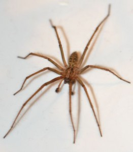 how to keep wolf spiders away from your house