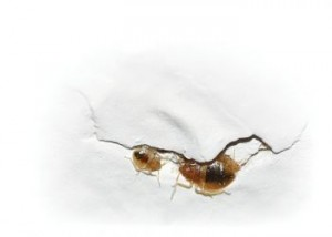 bedbugs-in-cracks-4